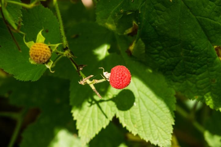 thimbleberry_deeks