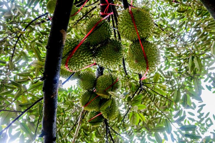 viet2016_durian