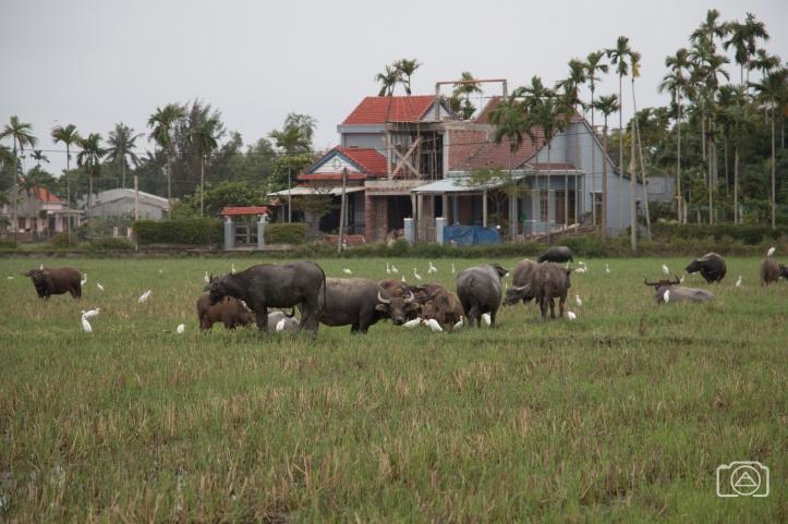 viet2016_buffalo